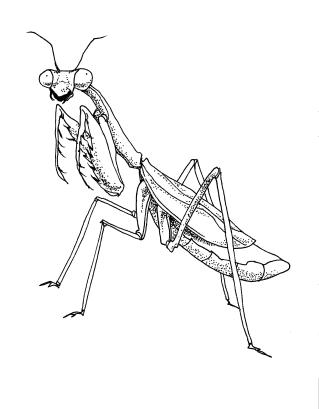 mantis.jpeg